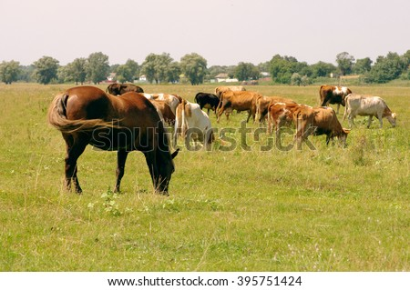 Horses and cows on a pasture. Herd of cows and horses grazing at summer green field - stock photo