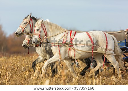 Horses carrying carriage. Russian troika. - stock photo