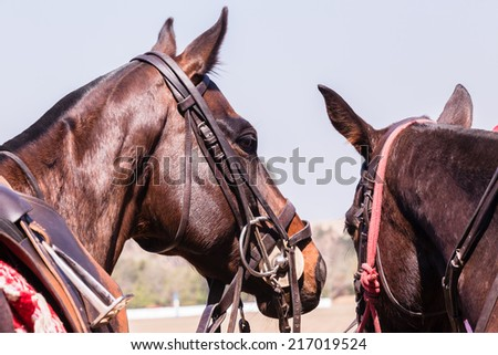 Horses Closeup Detail Polo horses ponies closeup animals detail saddled up for game in paddock. - stock photo