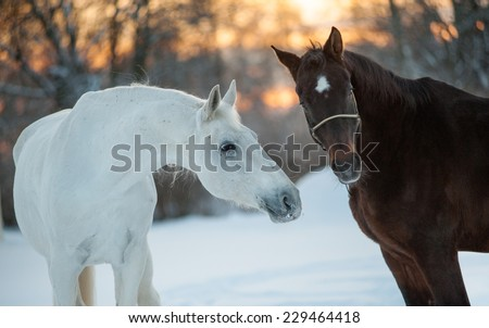 horses communicating in winter - stock photo