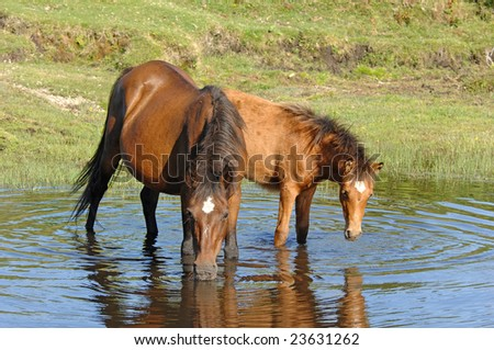 horses drinking in pond