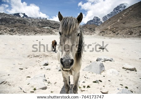 Horses during Everest base camp trek in front of snow covered mountain peaks in the Himalayas, Nepal