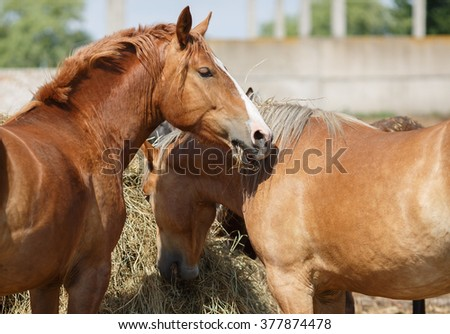 Horses eat hay. Two light brown horse eating straw. Selective focus. - stock photo