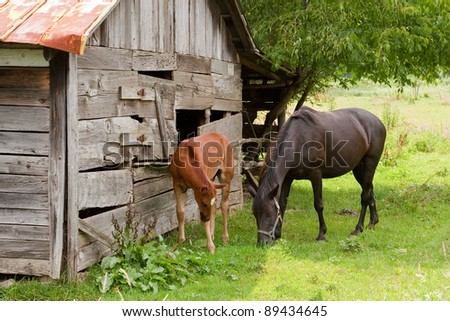 Horses eating grass by an old barn