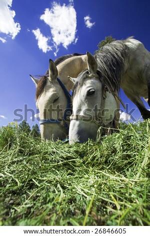 Horses Feeding - stock photo