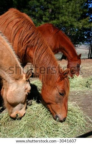 Horses feeding on hay on Idaho ranch - stock photo