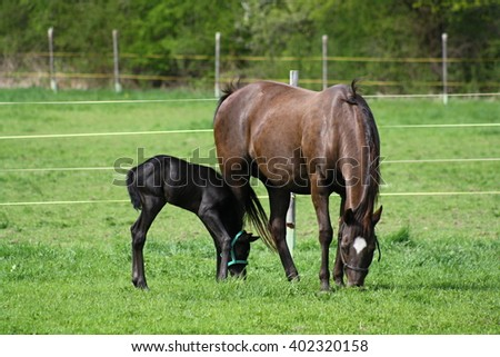 Horses - foal and mare on the pasture - stock photo