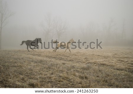 Horses galloping through the meadow - stock photo