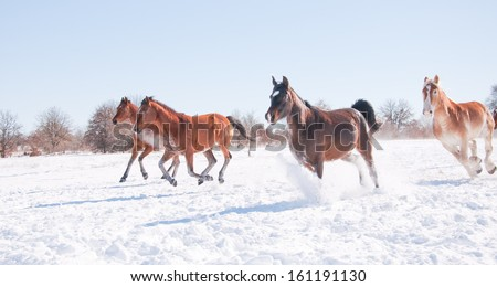 Horses galloping wide open down hill in a snowy winter pasture - stock photo