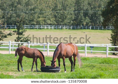 Horses graze on golden pasture in the yellow foothills of the stellenbosch mountains, South Africa - stock photo