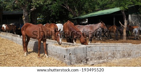 Horses graze on hay outside their stable. - stock photo