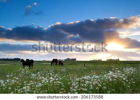 horses graze on pasture at gold sunset, Friesland, Netherlands - stock photo