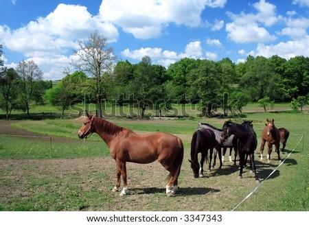 horses grazing - stock photo