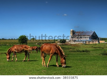 Horses grazing in a field in front of an Amish farm in Lancaster County, Pennsylvania, (USA)..