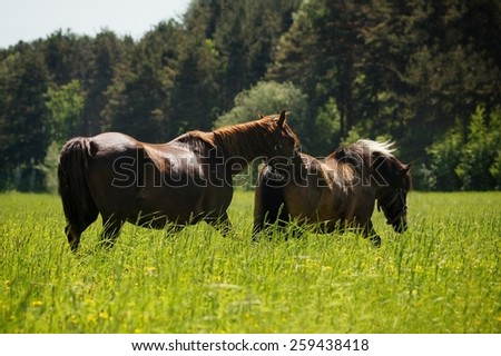 horses grazing in the pasture in high grass