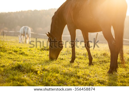 Horses grazing on a pasture at a sunset - stock photo