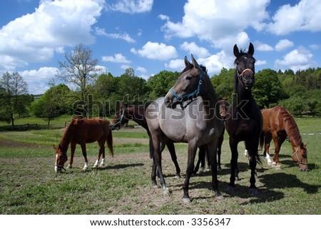 horses grazing on ranch - stock photo