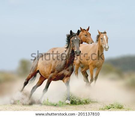 horses herd in dust - stock photo