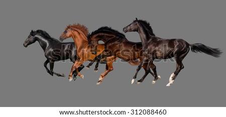 Horses isolated on grey background - stock photo