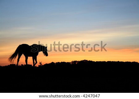 horses on a field in the summer in the countryside  in denmark, silhouette at the sunset - stock photo