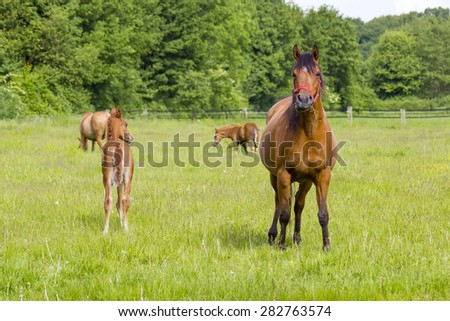 horses on a spring pasture, Lower Rhine Region, Germany