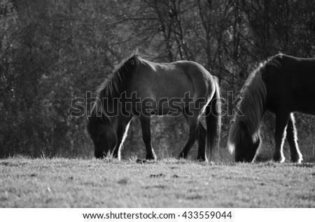 horses on sunny summer pasture monchrome - stock photo