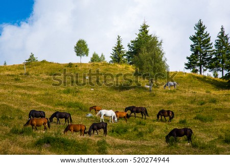 horses on the mountain pastures