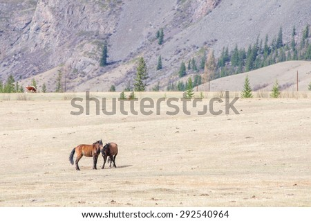 Horses playing bridal game in Altai steppe - stock photo