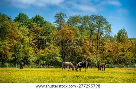 Horses quietly grazing in a meadow of Buttercups on a Maryland Farm in Spring - stock photo
