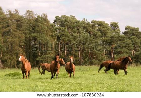 Horses run across the meadow. Hanoverian  breed. - stock photo