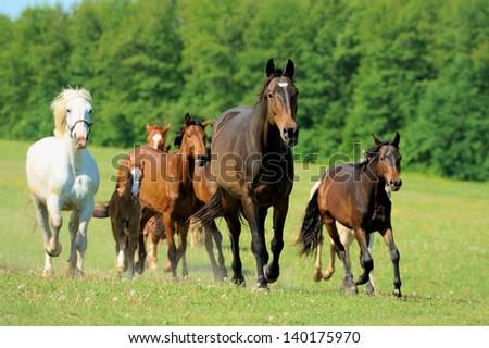 Horses run on field in summer - stock photo