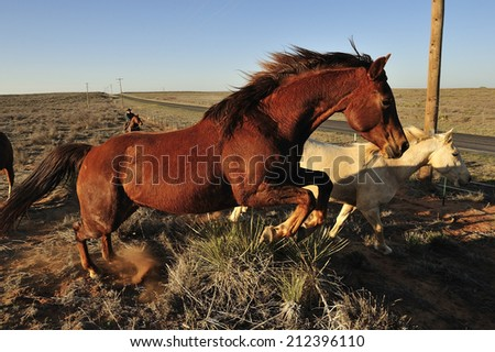 Horses running in the field, Texas, USA - stock photo