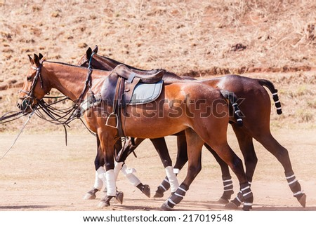 Horses Saddles Closeup Detail Polo horses ponies closeup animals detail saddled up for game in paddock. - stock photo