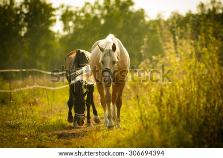 horses walking in paddock in sunset light - stock photo