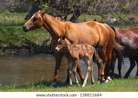 Horses with a young colt go through a meadow along the river - stock photo