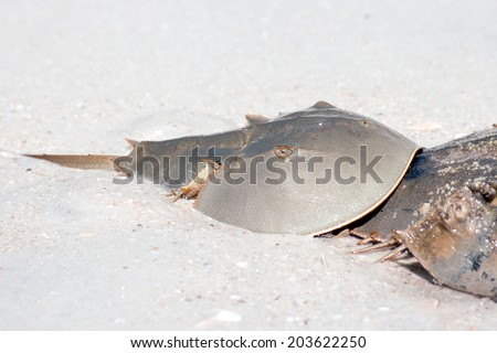 Horseshoe crab, (Limulus)