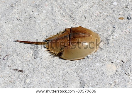 Horseshoe Crab on a white sand beach, Sanibel Island Florida - stock photo