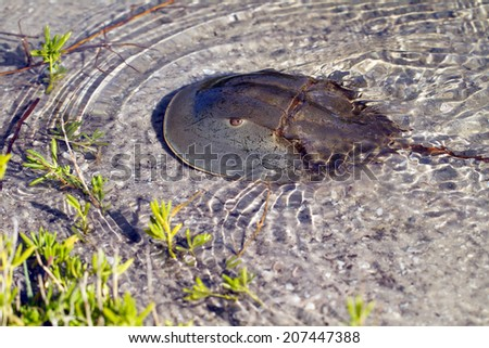 Horseshoe Crab swims in shallow water in Ding Darling National Wildlife Refuge in Florida - stock photo