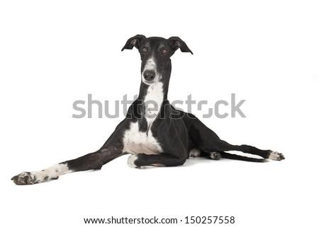 Hort greyhound lying on a white background - stock photo