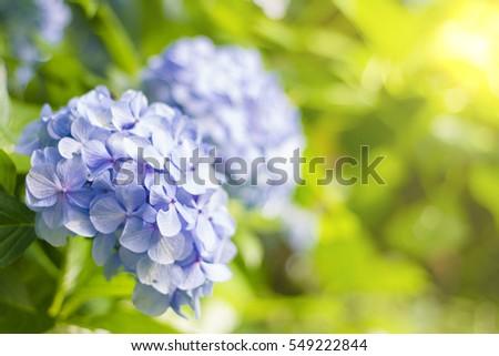 hortensia flower hydrangea flower background