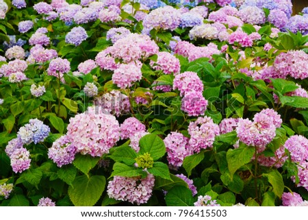 Hortensia Flowers Very Nice Color Natural Stock Photo Royalty Free - Color-hortensia