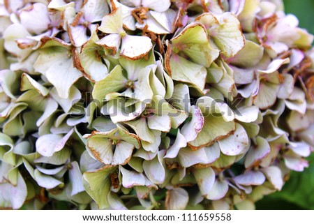 hortensia flowers closeup - stock photo
