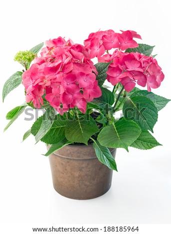 Hortensia hydrangea pink flower in a pot - stock photo