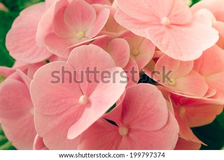 Hortensia pink flowers close-up romantic colors - stock photo