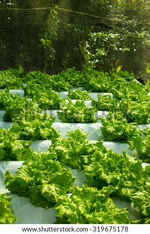 Horticulture Garden growing Lettuce Plants inside Greenhouse with Aquaponic (Hydroponic) System - stock photo