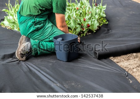 Horticulturist installs special mat which suppress weeds growth - stock photo