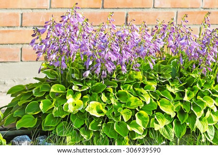 Hosta (Hosta). Group of flowering plants on the background of a brick wall garden - stock photo