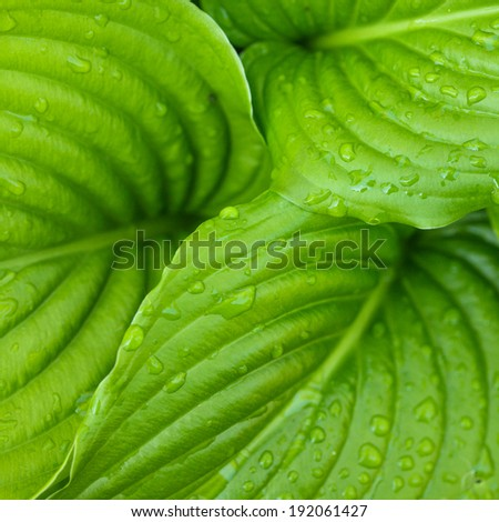 Hosta leaves as a figure green pattern with raindrops