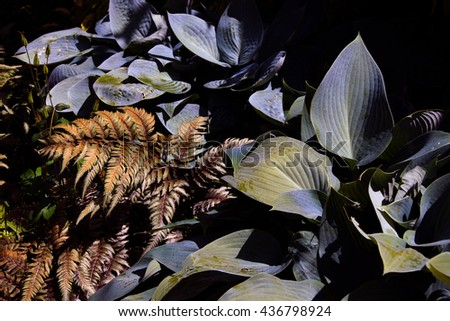 Hostas and variegated fern in Seattle garden