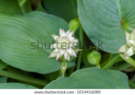 Hostas are broad leafed herbacious shade loving perennials.